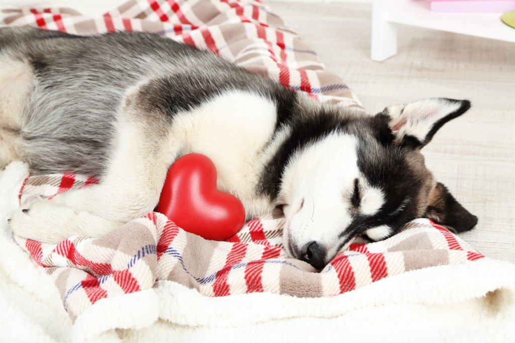 Beautiful husky puppy sleeping. STD check.com